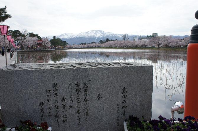 高田城址の外堀を埋め尽くす桜と南葉山(なんばさん)。七分咲きでも見応え十分。世界中の人たちに伝えたい、我が故郷の景色