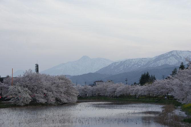標高2,454m。越後富士とも呼ばれる地元の名峰・妙高山に見守られながら、高田夜桜の開演です
