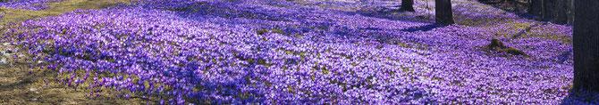 Krokus-Wiese - Blumenzwiebeln pflanzen
