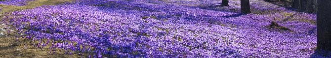 Blütenmeer mit großen Mengen an Krokussen