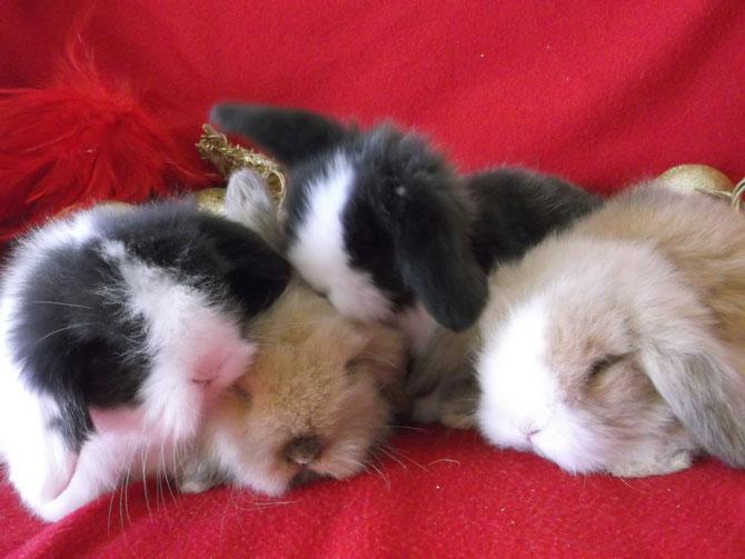 Les petits de Shade & Malabar : lapin teddy angora bélier. De gauche à droite : Heaven, Teddy, Alpnia & Caramel
