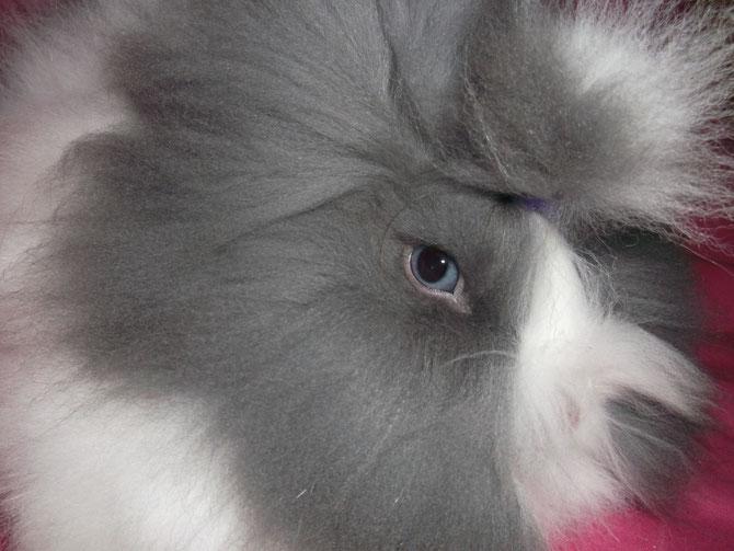 """GAUFRETTE """"Ma beauté"""" : Lapin teddy angora (oreilles droites)"""