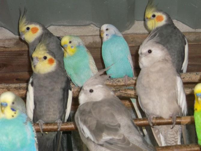 Perruches  disponibles et autres oiseaux !!