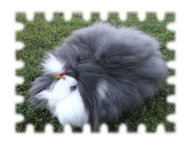 FRAISE : Lapin bélier teddy angora