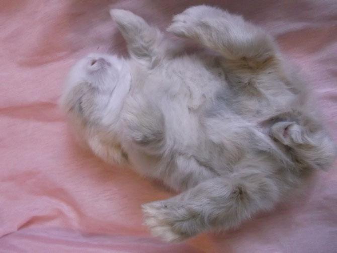 Vanille fille de Fraise & Galax (lapin teddy angora bélier)