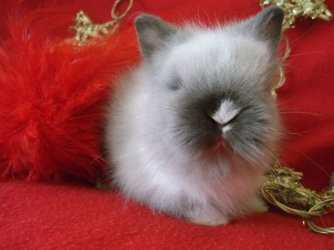 """Un petit  """"Cookie"""" de Gaufrette & Chamallow : lapin teddy angora oreilles droites"""