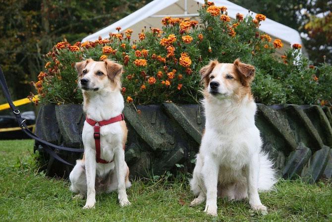 Zwei Halbgeschwister (der Vater der beiden ist Elgin von der Au). Die Ähnlichkeit ist nicht zu leugnen! Bakira vom Oberen Legel (li.) und Barney