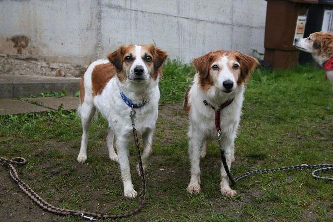 Unsere beiden Kromfohrländer - Amy (li.) und Bonny. Rechts am Bildrand ist der Kopf von Amys Mama Bilja zu sehen