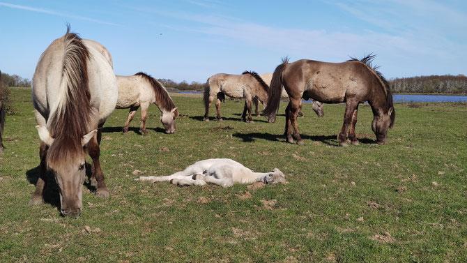 Konik-Wildpferde in der Geltinger Birk
