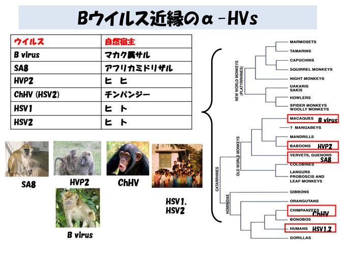 Bウイルス - animalcrisismanage...