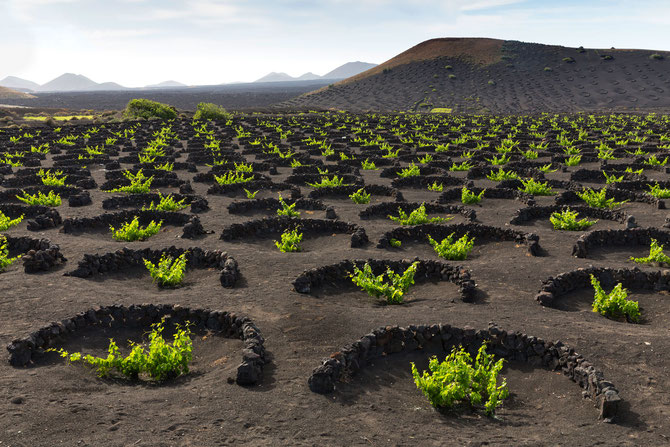 Viticulture on the Canary Islands using cone pits for water conservation dug out of volcanic ash