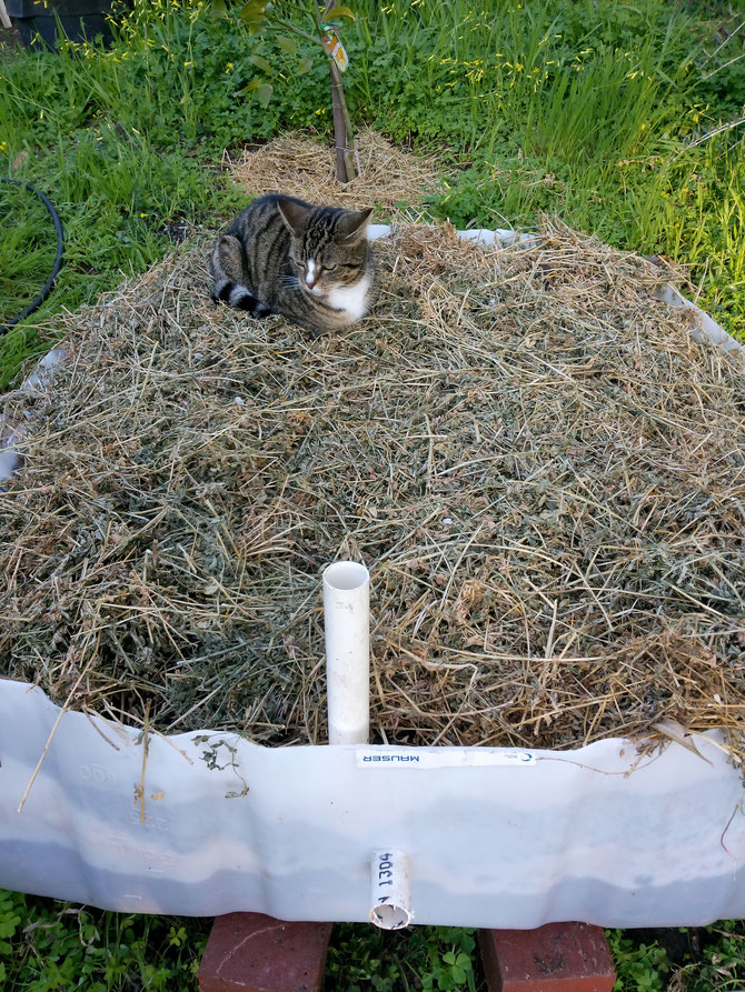 A biochar IBC wicking bed - if the cat loves it, it must be good