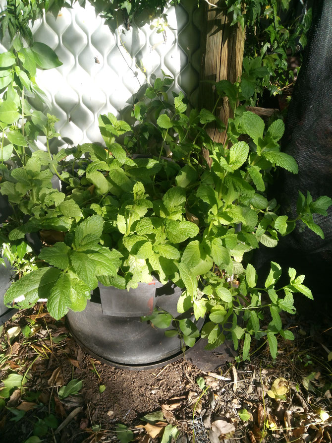 Mint in a biochar wicking pot in series with two other biochar wicking pots