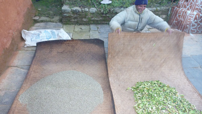 Hemp seed (left) and beans (right) in Nepal. Integrated as a traditional polyculture system.