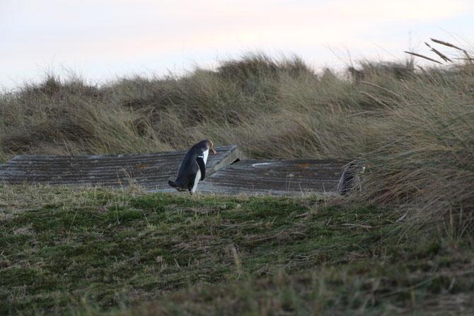 ニュージーランド ダニーデン オタゴ半島 ペンギン