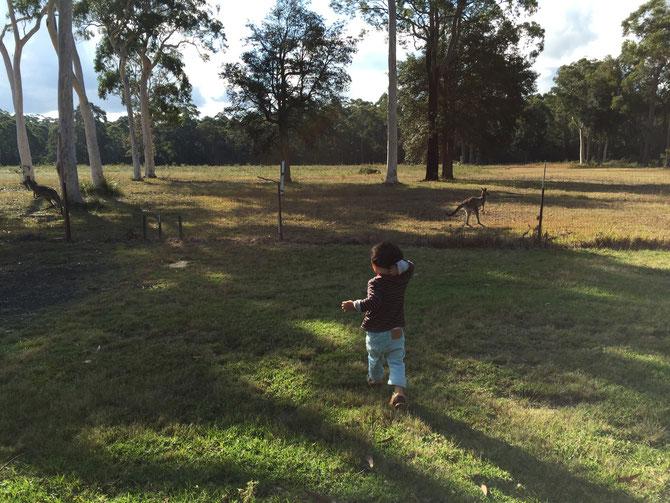野生のカンガルーを間近で見る@オーストラリア