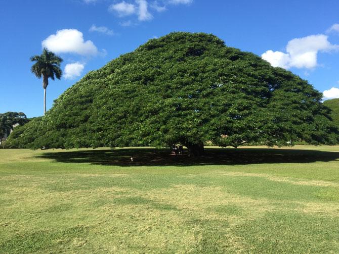 ハワイ モアナルア・ガーデン この木なんの木