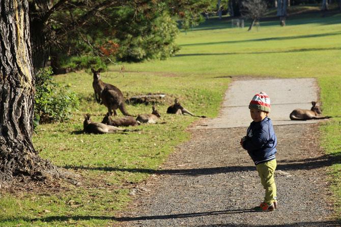 オーストラリアで野生カンガルーに遭遇