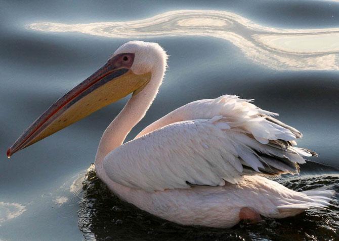 Nicht nur Pelikane begleiten uns auf unserer Bootstour durch die Lagune von Walvis Bay