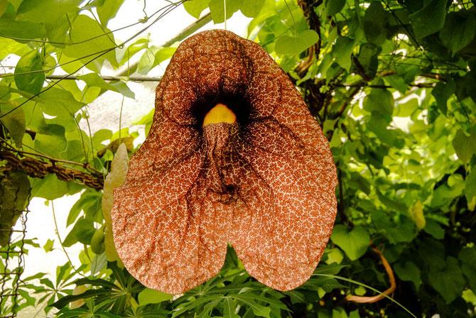 Pfeifenblume (Aristolochia gigantea)