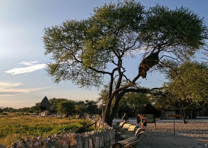 """An """"unserer"""" Wasserstelle in Okaukuejo. Das Webervogelnest hängt schon etwas bedrohlich im Baum"""