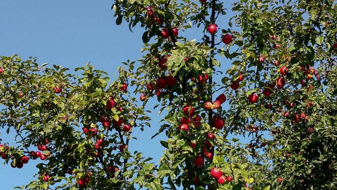 """""""Schnweewitchen-Äpfel"""""""