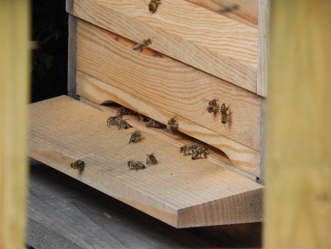 Meine ersten Bienen auf dem Flugbrett