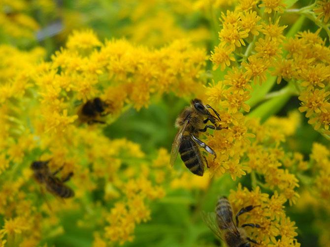 Goldrute, Solidago canadensis,  indische Balsamine, Impatiens glandolifera, Bienenzuchtverein Merkstein, Bienen Merkstein, Bienen Aachen, Bienenverein Merkstein, Bienenverein Aachen, Biene, Bienen, Merkstein