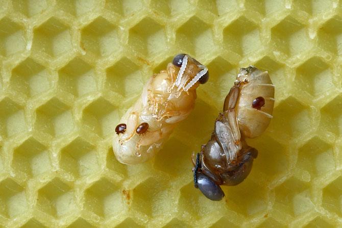 Varroa destructor, Drohnenpuppen mit Varroamilben, Bienenverein, Bienenzuchtverein Merkstein, Biene, Merkstein, Imker, Imkerin, Honig,