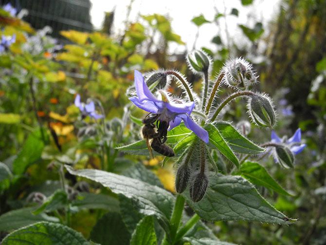 Borretsch, Bienenzuchtverein Merkstein, Bienen Merkstein, Bienen Aachen, Bienenverein Merkstein, Bienenverein Aachen, Biene, Bienen, Merkstein