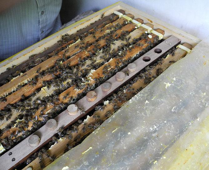 Zuchtrahmen, Bienenzuchtverein Merkstein, Bienen Merkstein, Bienen Aachen, Bienenverein Merkstein, Bienenverein Aachen, Biene, Bienen, Merkstein