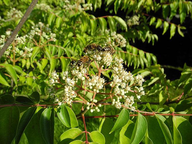 Bienenbaum, Tetradium Syn. Euodia, Bienenzuchtverein Merkstein, Bienen Merkstein, Bienen Aachen, Bienenverein Merkstein, Bienenverein Aachen, Biene, Bienen, Merkstein