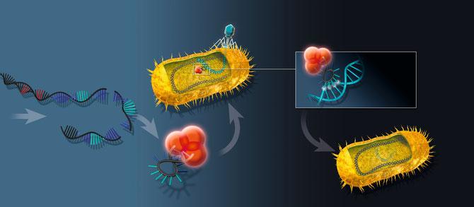 crRNA effector complexes recognize viral DNA