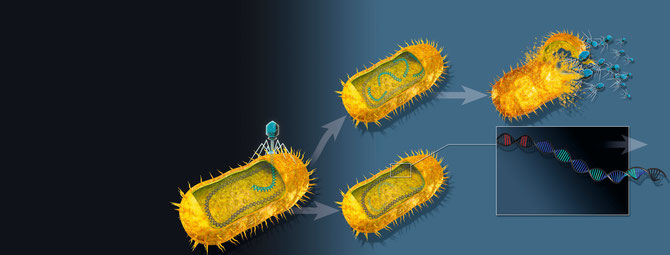 Bacteriophage infection with and without CRISPR