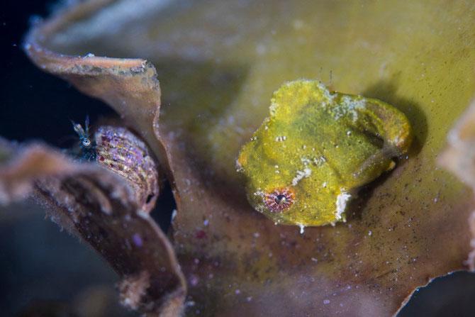 水中マクロ写真イメージ ダンゴウオとヤドカリ