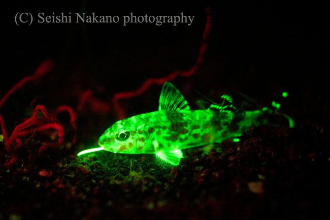 蛍光発光水中撮影テクニック 光るヒメジ