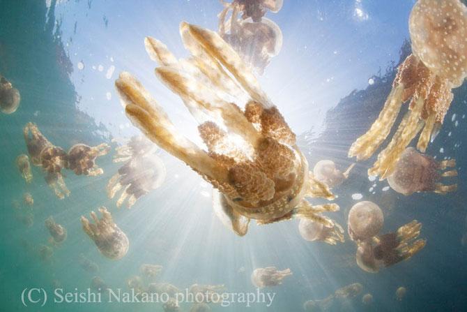 水中写真ガイド タコクラゲ写真