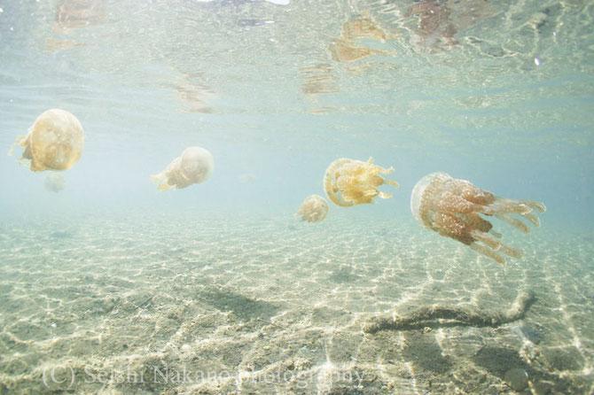 水中写真ガイド リンクページ タコクラゲ