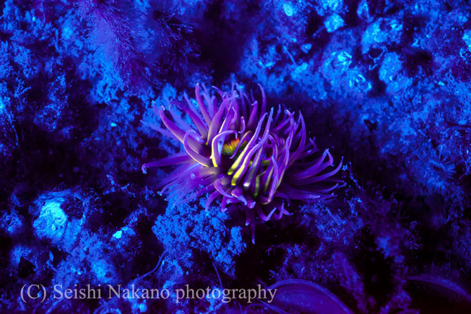 SOLA NIGHTSEA ソラ ナイトシーで蛍光発光する生物を発見
