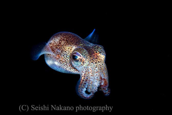 絞ったカリカリ水中マクロ写真 ミミイカ