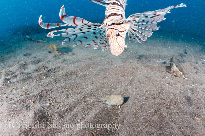 水中ワイドマクロ作例 ミドリフサアンコウ幼魚