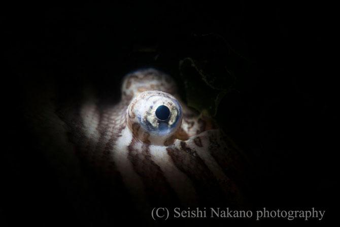 スヌート水中写真 シマウシノシタの目