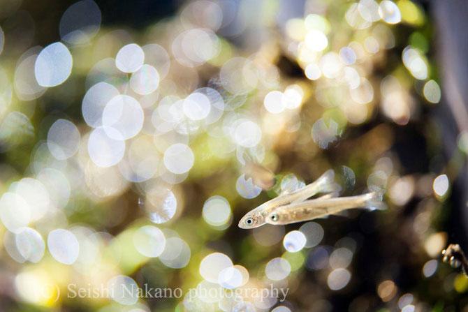 泡メルヘン写真 ウグイ稚魚