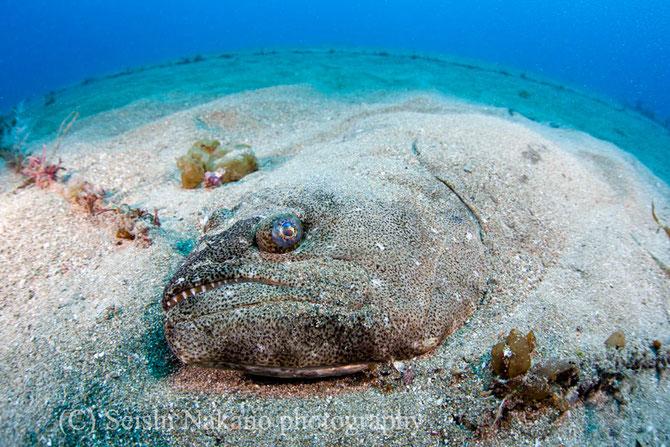 水中ワイドマクロ ヒラメ