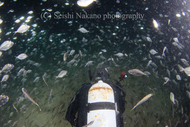 ヒイラギの大群と泳ぐダイバー