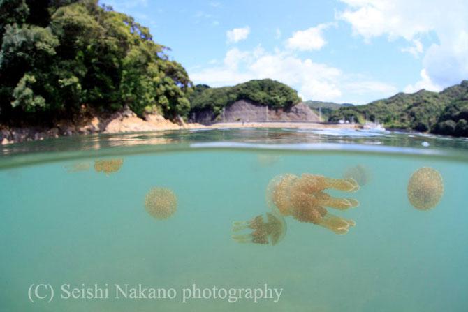 半水面写真 タコクラゲ