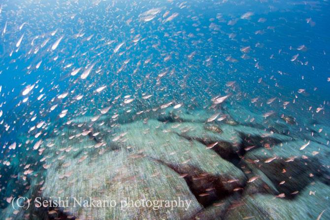 水中写真のスローシャッター表現 クロホシイシモチ魚群