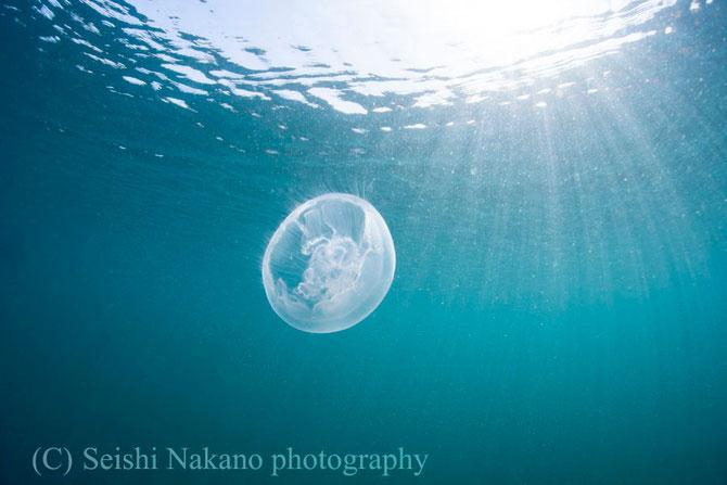青い海に浮かぶミズクラゲの写真