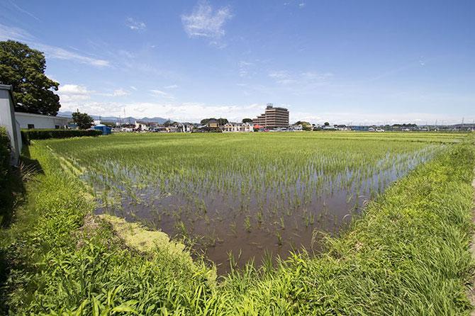 6月なのにもう梅雨が明けた! 空は一段高くなり、朝からしっかり暑い。たくさんのオタマジャクシも「ちょっと早いんじゃね!?」と(多分)言いつつ、元気に泳いでいる。そして田んぼは、完全に「緑」のギアに切り替わった。