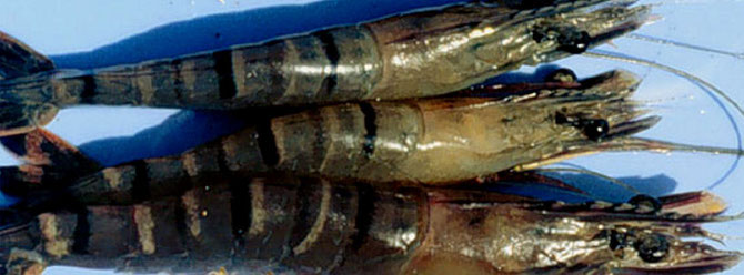 Mit YHD infizierte Tiere zeigen eine hell bis intensiv gelbe Ferfärbung im Nackenbereich. Foto: Dr. Donald V. Lightner